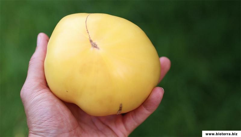 Huge Lemon Oxheart Tomate