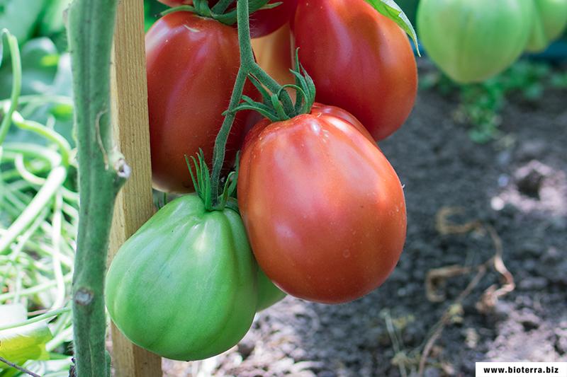 Liguria Tomate