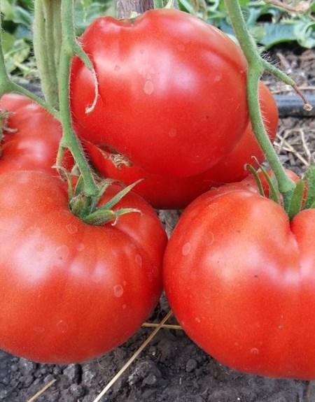 Vierlaender Platte Tomate
