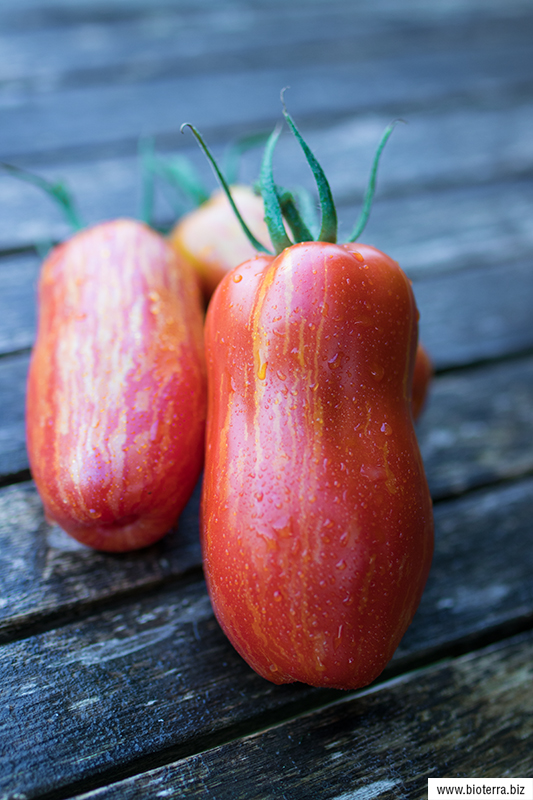 Gestreifte Paprikaförmige Tomate