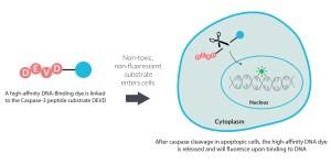 NucView® 405 Caspase3 Substrate, 1 mM in DMSO | Biotium