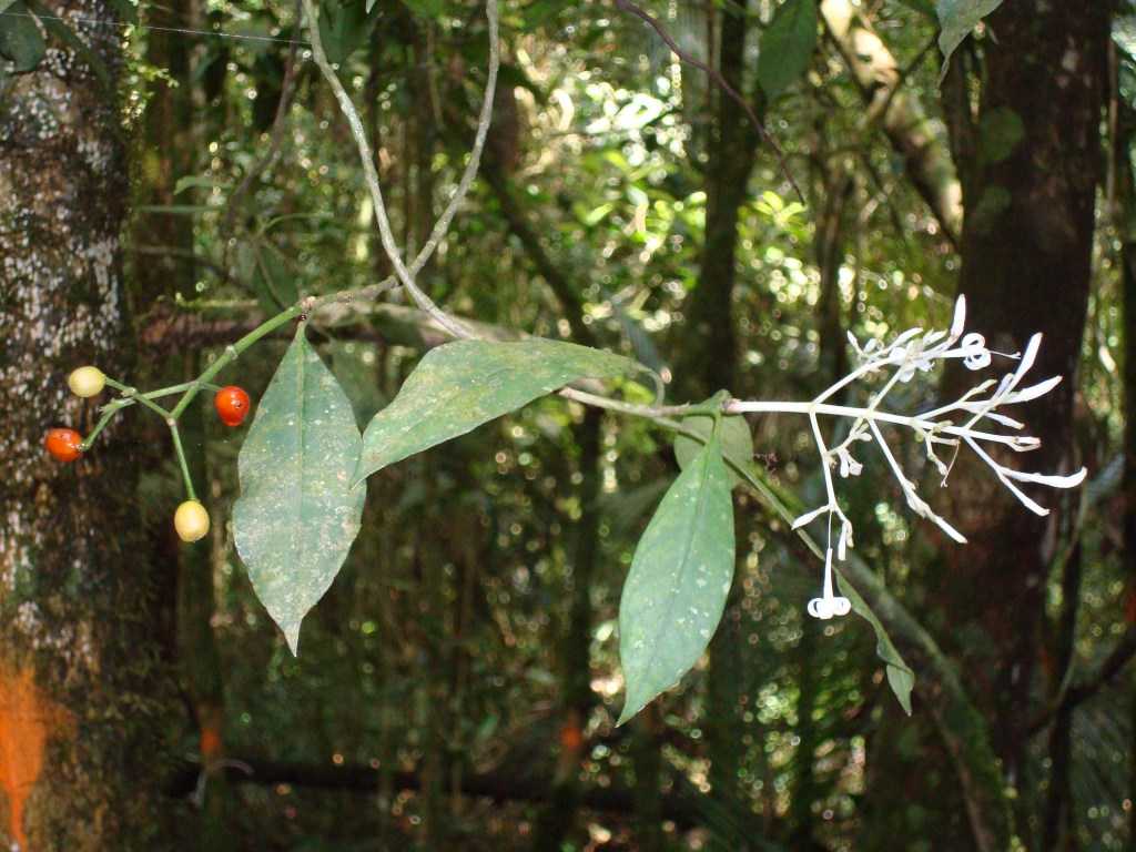 Fertile adult Rudgea tree