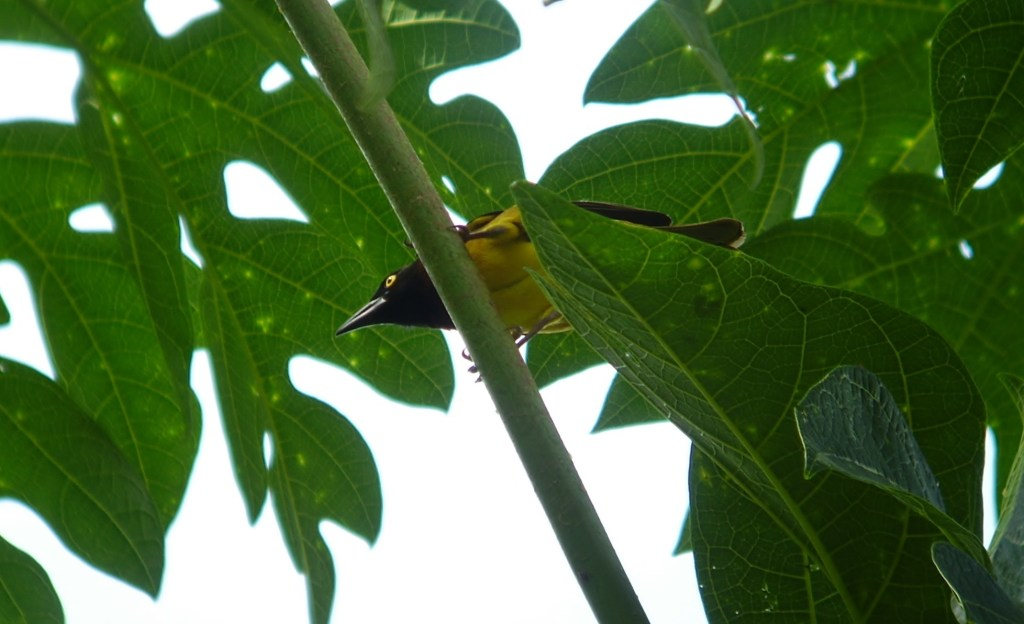 GiantWeaver - The giant weaver Ploceus grandis was the only endemic bird to become significantly more abundant in shade plantation than in forest. Here seen on a papaya tree Carica papaya, on which it was feeding (Photograph by Ricardo F. Lima)