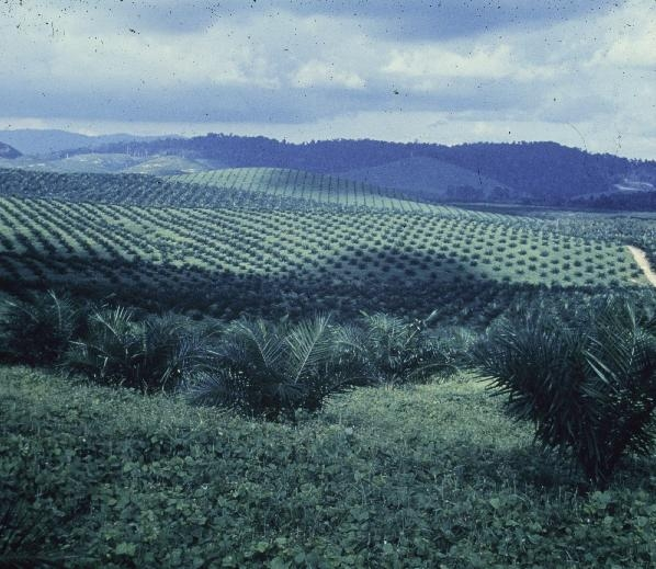 Oil palm plantation.