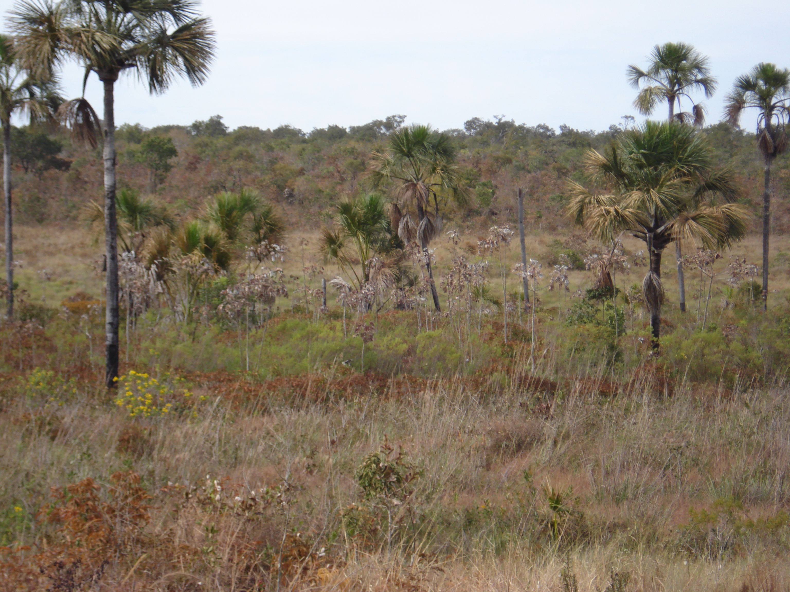 Changes in habitat type along a Cerrado landscape. In this particular view, the sparse grassland in the front is replaced by a palm swamp in the middle, which then is replaced by a more closed savanna vegetation with many small trees in the background (photo credit: P.K. Maruyama).