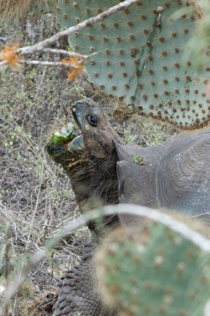Endemic Opuntia echios cacti are an important lowland food source for giant tortoises, particularly in the dry season. Here a young male from the Cerro Fatal populations tucks into a succulent cactus pad. The spines don't seem to bother him Photo by Stephen Blake).