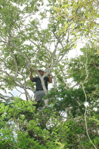 Fredy Cabrera finds himself in some strange places as he tries to find our GPS tagged tortoises. Here he had to climb a tree to get a radio signal from a tagged tortoise. (Photo by S. Blake).