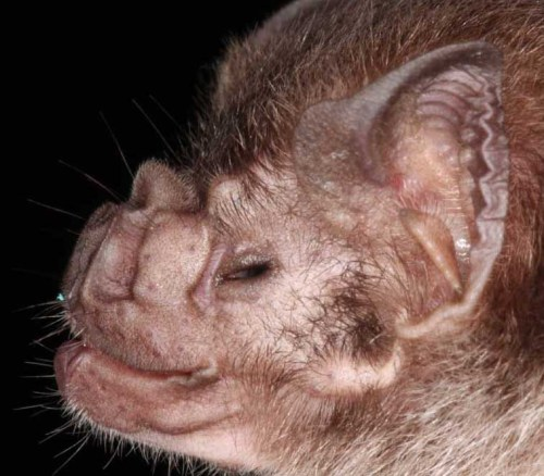 The Vampire Bat, Desmodus rotundus (Photo: Christian Voigt)