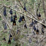 Photos from the Field: Fruit Bat Seed Shadows and Agroforestry in India