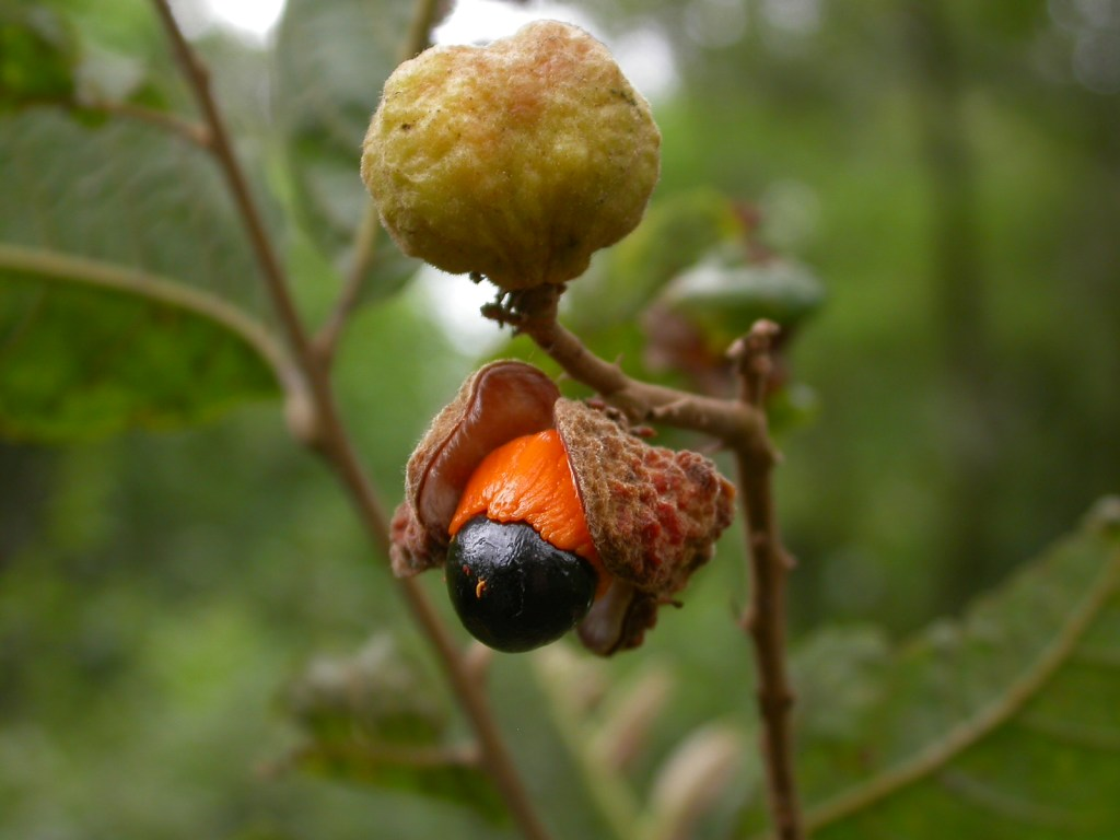 Fruit of Cupania vernalis exposing an arilated seed. The fruits of this species are relatively scarce at the local scale, but still are selected for consumption by birds, even by some with a predominantly insectivorous diet. (Photo: Pedro Blendinger).
