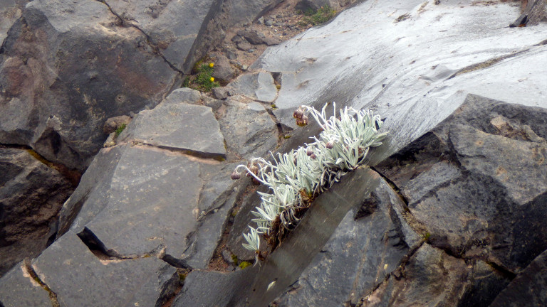 A new patch of Senecio nivalis growing in the cracks of the rocks of an old lava flow (photo: Esteban Suarez).