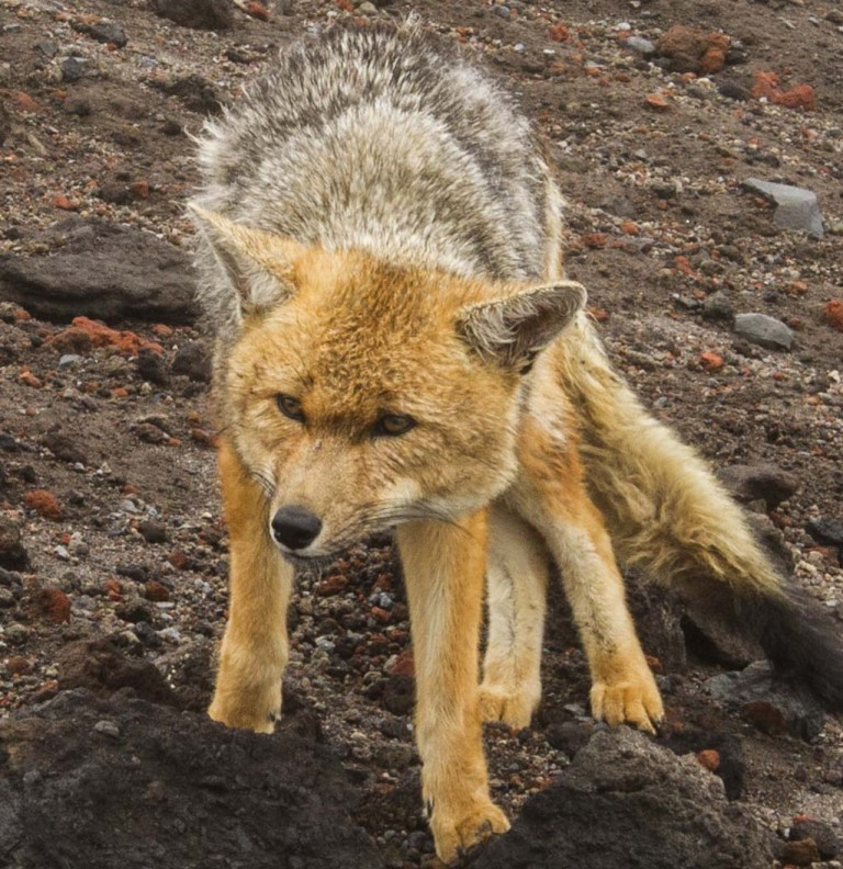 Andean Fox (Lycalopex culpaeus). A common species in the higher reaches of Andean volcanoes. This specimen decided to dine on three of our temperature data loggers. (photo: Katie Orndhall and Katie Goodwin).