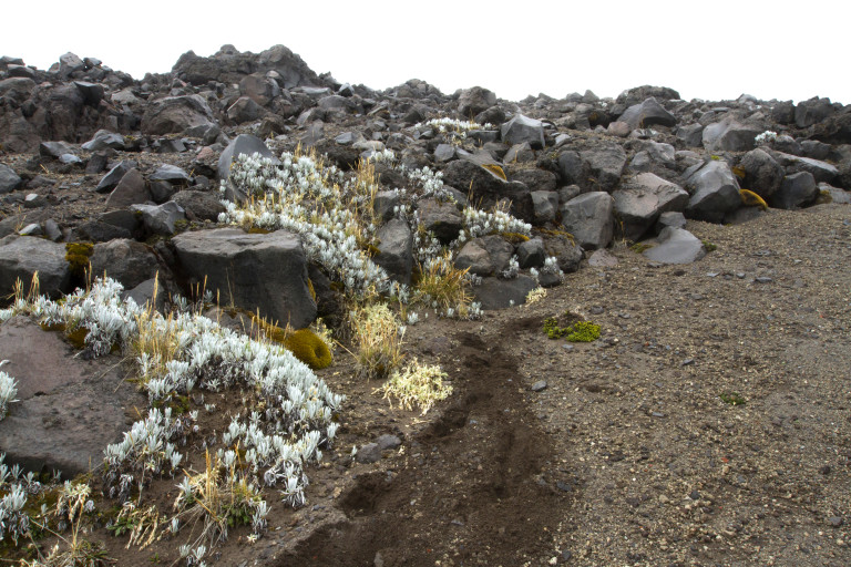 Patches of Senecio nivalis developing on the crevices of a lateral moraine in Cotopaxi volcano (photo: Esteban Suarez).
