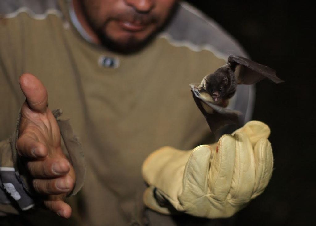 Releasing a nectar bat, Anoura cultrata, near San Vito, Costa Rica. Local men were more likely to leave bats alone when they knew more about bat natural history and were not negatively impacted by vampire bats.