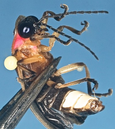 Fig. 2. When disturbed, a Bicellonycha amoena firefly exudes droplets of blood from strategic locations around its body. Nothing is known about what compounds are present in these exudates. We now know that the cuticle is full of hydrocarbons, which may play a role in the final stages of courtship (Photo: F. V. Vencl).