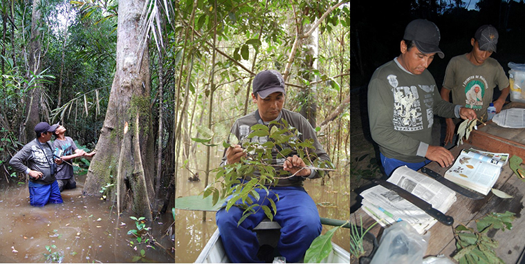 Identifying trees for phenology monitoring in seasonally flooded várzea forest, Médio Juruá, western Brazilian Amazonia. (Photos: Joseph Hawes)
