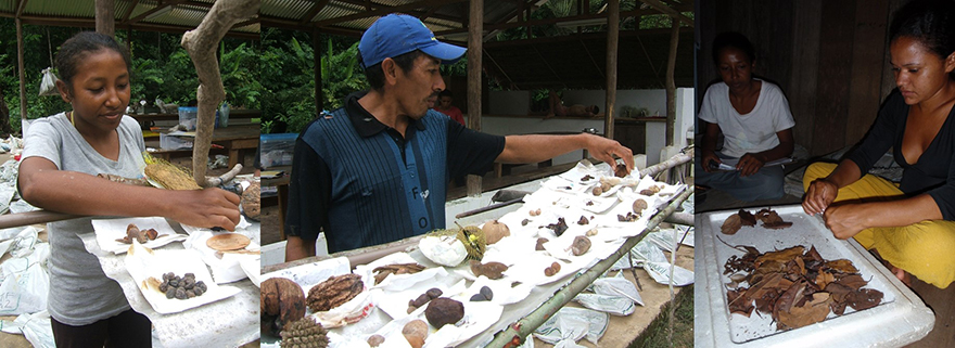 Drying fruit samples from ground surveys, and weighing dried material from litterfall traps, Médio Juruá, western Brazilian Amazonia. (Photos: Joseph Hawes)