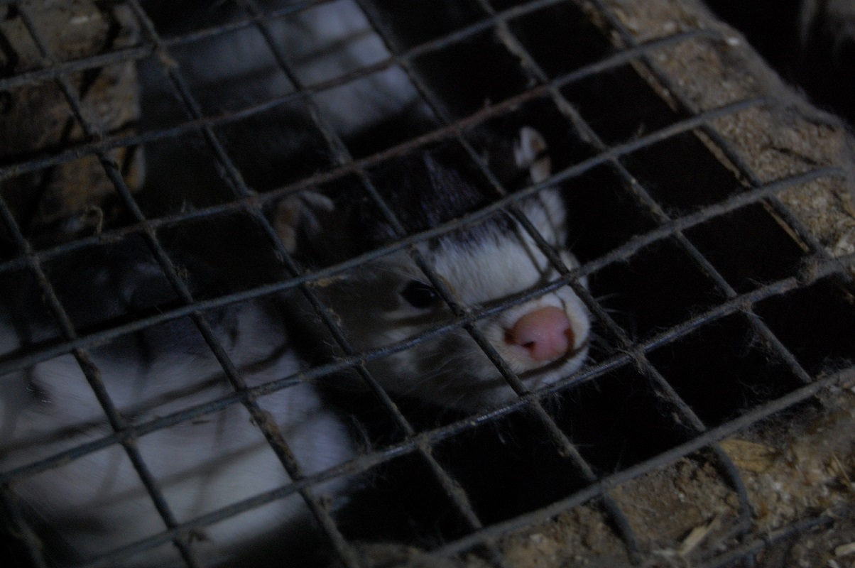 Mink in Cage in Irish Fur Farm