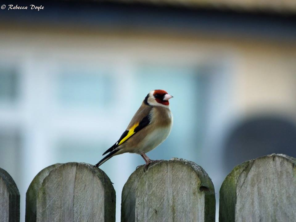 A goldfinch resting between trips to the bird feeder (Photo by Rebecca Doyle)