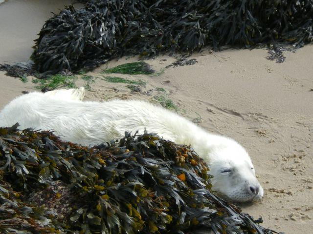 Seal pup with white coat (Photo courtesy of the Irish Seal Sanctuary)