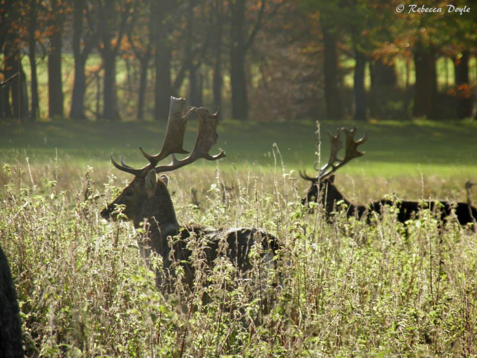 Deer in the afternoon sun in the Phoenix Park, Dublin (Rebecca Doyle)