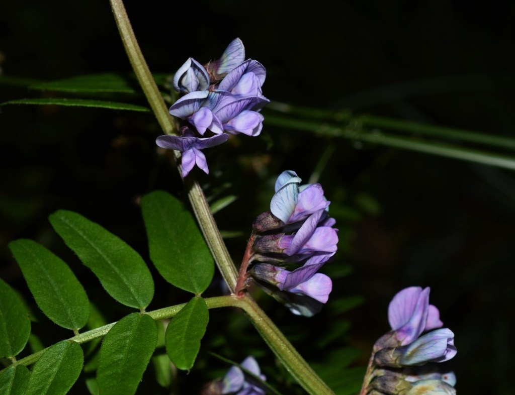 Bush Vetch (Vicia sepium) – Oisín Duffy