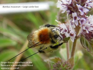 Large carder bee (Bombus muscorum) foraging on Water mint (Mentha aquatica) in a coastal habitat – Oisín Duffy