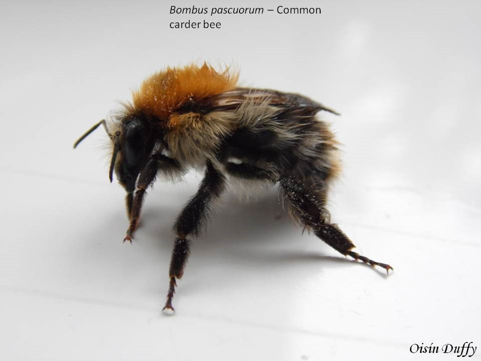 Side Profile of Common Carder Bee (Bombus pascuorum) – Oisín Duffy
