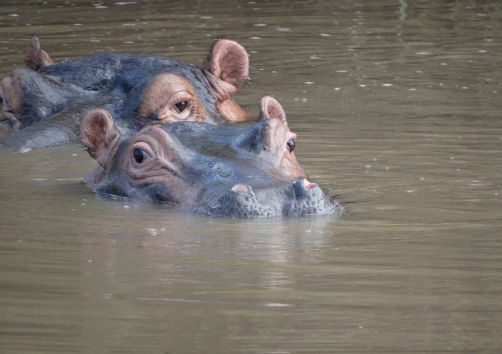 Welcome to the realm of the Hippo! It's going to be down to the best possible strategic planning and good will of the Hippos that my traps don't get completely flattened!