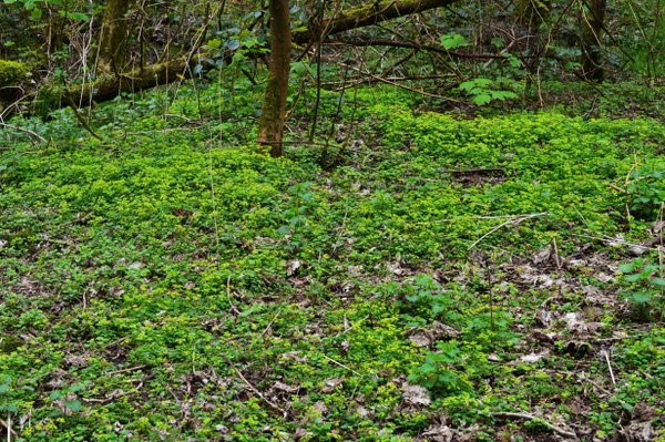 Opposite-Leaved Golden-Saxifrage (Chrysosplenium oppositifolium) carpeting an area of woodland – Oisín Duffy