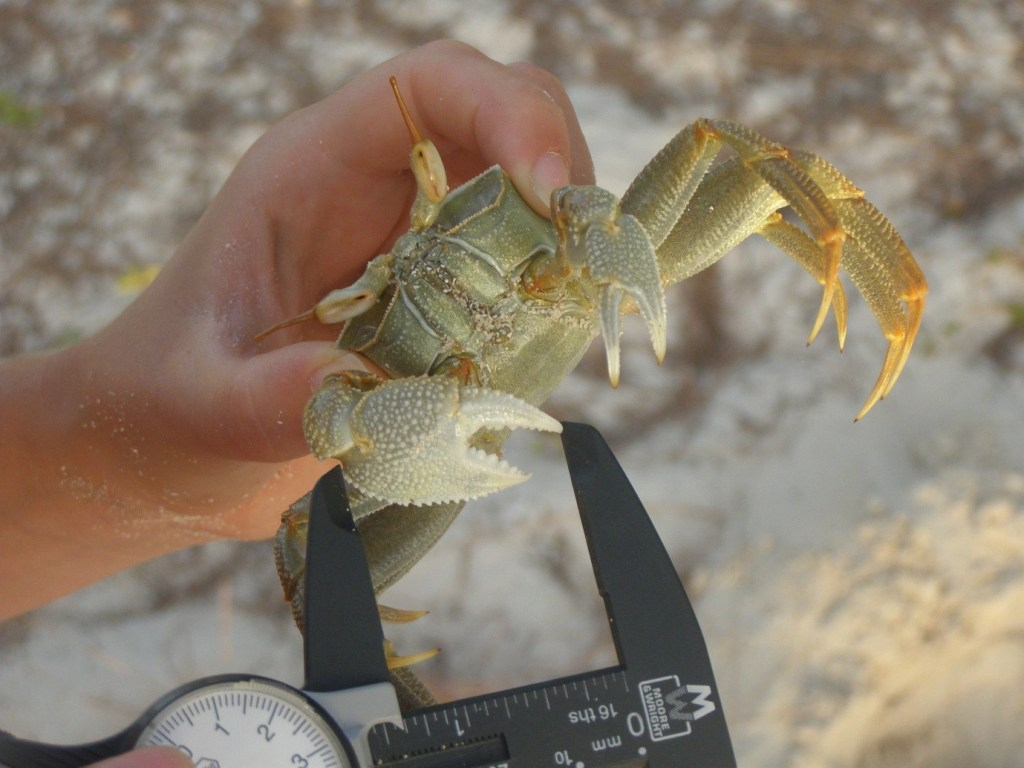 Our study species was the Horned Ghost-crab, Ocypode ceratophthalmus, which have these awesome eye stalks.
