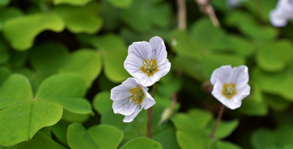 The dainty and beautiful flowers of Wood Sorrel, showing the purple venation and yellow ring at base – Oisín Duffy