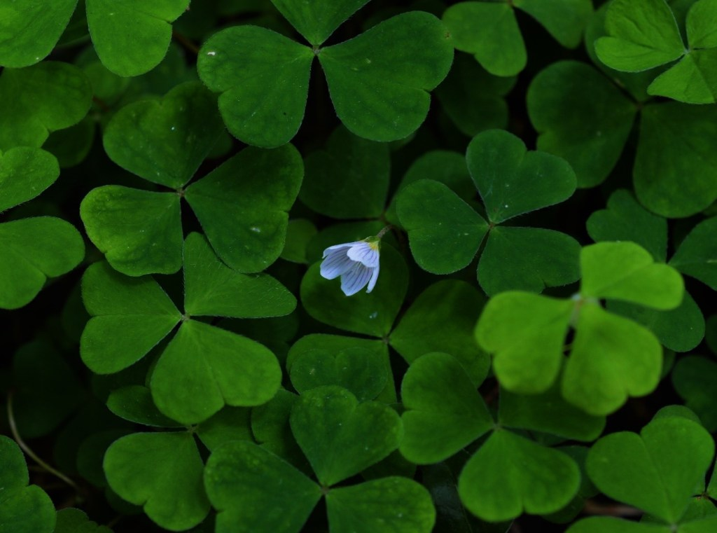 The flower amongst them all – Flower and leaves of Wood Sorrel – Oisín Duffy