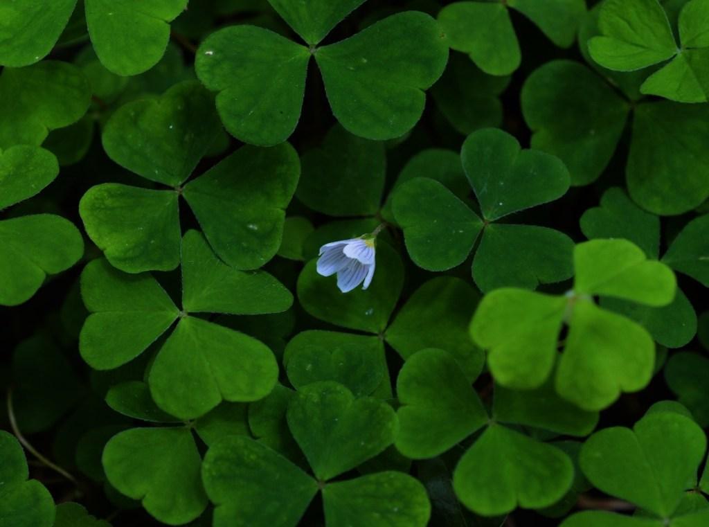 The flower amongst them all – Flower and leaves of Wood Sorrel – Oisín Duffy
