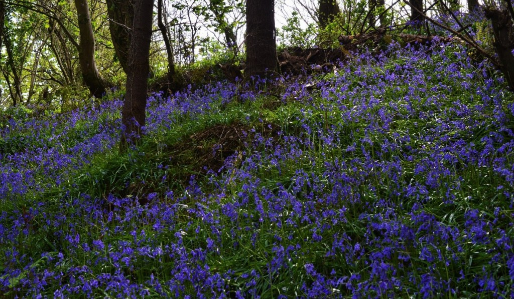 Bluebells in a woodland during Spring – Oisín Duffy