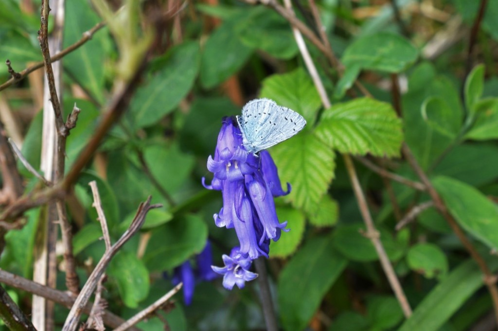 Holly Bluebells, Holly Blue Butterfly on bluebells a beautiful Spring time scene – Oisín Duffy