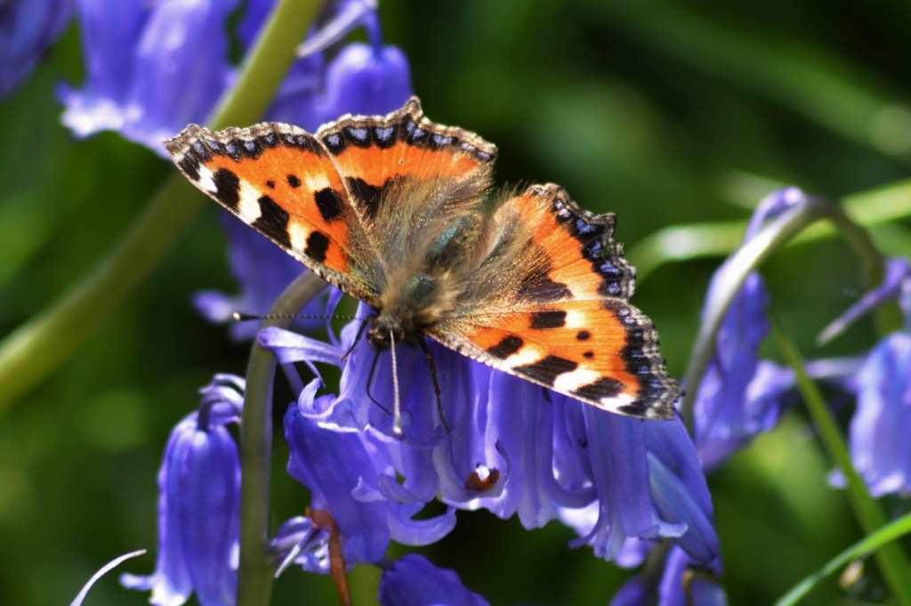 Small Tortoiseshell also using bluebells, a beautiful contrast in colours – Oisín Duffy