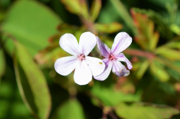 A very pale, almost completely white form of Herb-Robert – Oisín Duffy