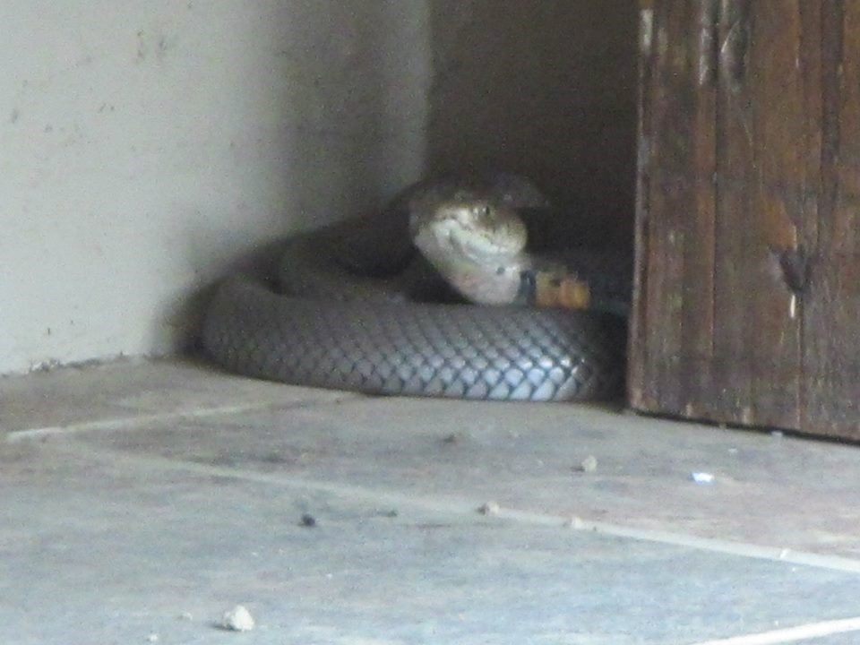 One of our short-term visitors, a Mozambique spitting cobra