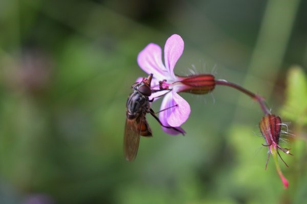 The hoverfly Rhingia campestris a common visitor to Herb-Robert – Oisín Duffy