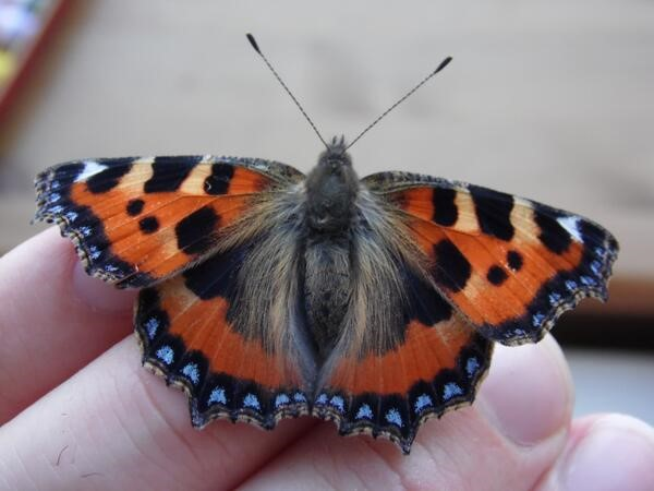 The blue dotted fringe is a distinctive and characteristic feature of the Small Tortoiseshell – Oisín Duffy