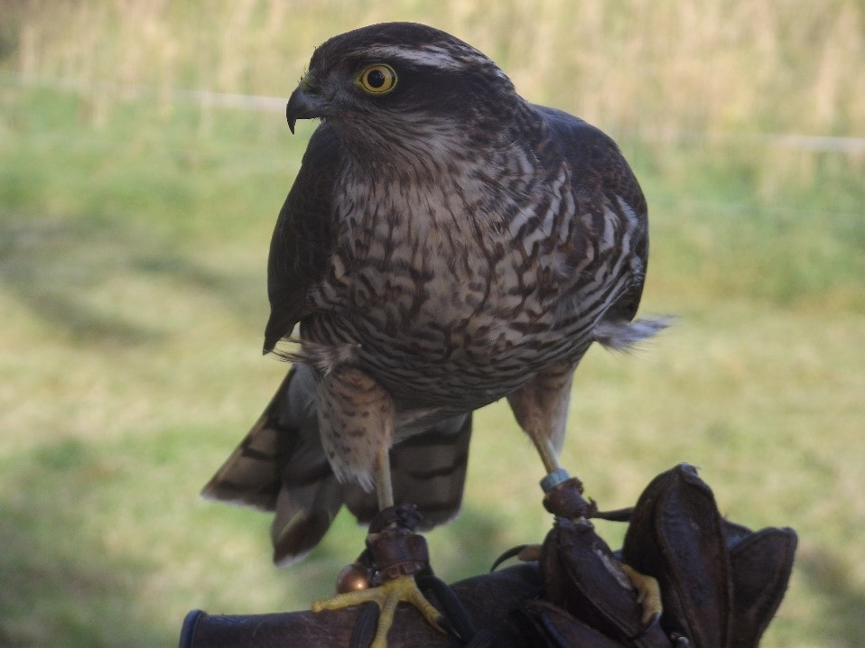Figure 5: Female Sparrowhawk with traditional, hand-made equipment.