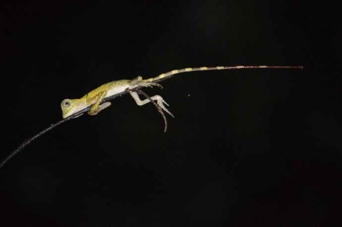 Chameleon Forest Dragon (Gonocephalus chamaeleontinus)