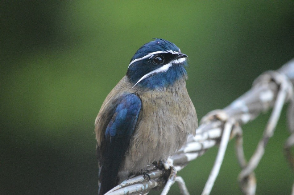 Whiskered Treeswift (Hemiprocne comata) showing his best side