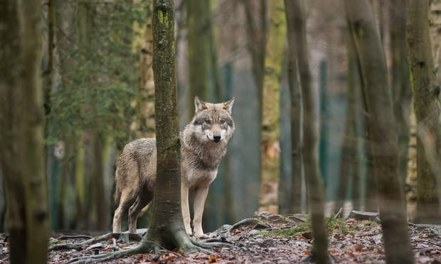 A wolf. Naya's arrival in Belgium completes the return of the predator to every continental country in Europe. Photograph: Klaus-Dietmar Gabbert/AFP/Getty Images