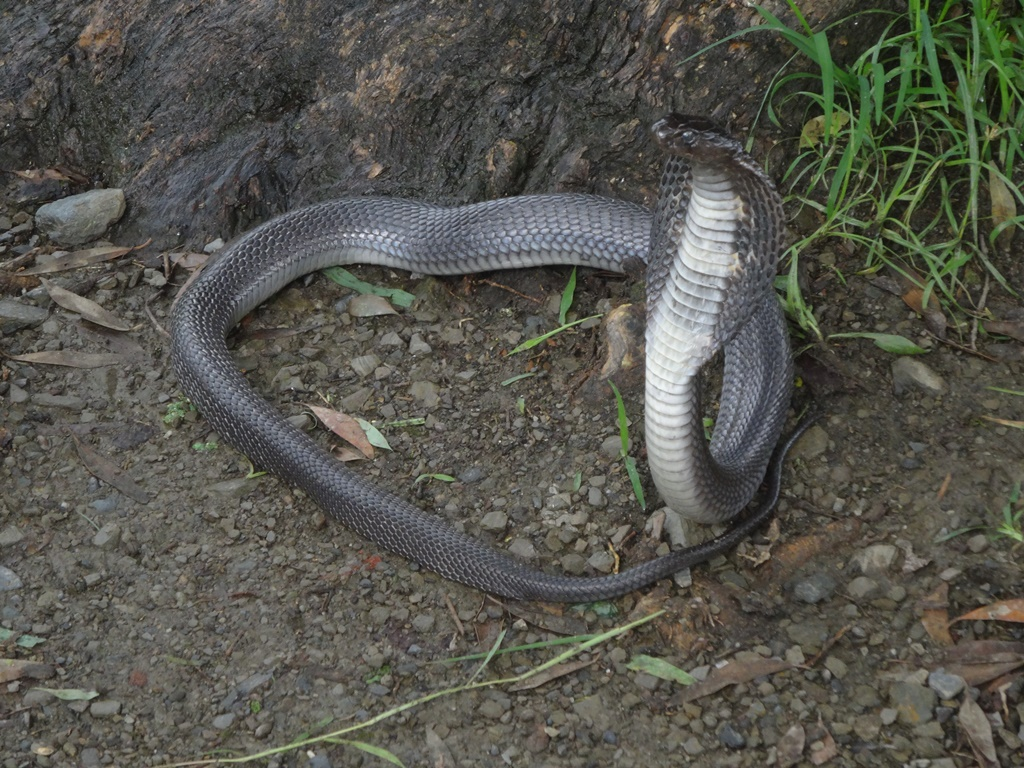 Black morph of the Indian cobra (photo by Richard Southworth)
