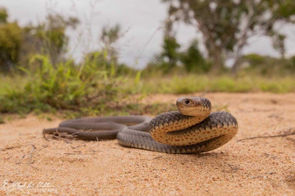 Snake Conflict Fig 1: The Eastern Brown (Pseudonaja textilis) is one of the most abundant venomous snakes on the East Coast of Australia. As these snakes are highly adaptable occurring in suburban areas and highly venomous, they have become the deadliest snake in Australia killing around 1 person every year.