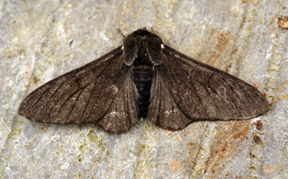 Figure 2: A melanic peppered moth (Biston betularia) photographed by Bennyboymothman