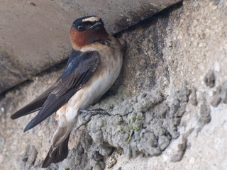 Figure 3: A Cliff Swallow (Petrochelidon pyrrhonota) perched under a ledge. Photographed by Ingrid Taylar