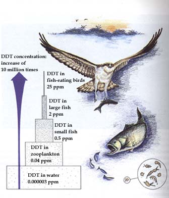 This poster from the U.S. Fish and Wildlife Service illustrates bioaccumulation, theprocess by which larger animals can be killed by acute DDT poisoning.